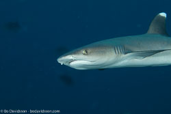 BD-130714-Maldives-0605-Triaenodon-obesus-(Rüppel.-1837)-[Whitetip-reef-shark.-Vitspetsig-revhaj].jpg